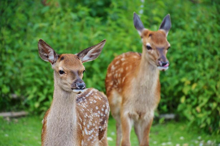 Zwei neugierige Rehe im Wald