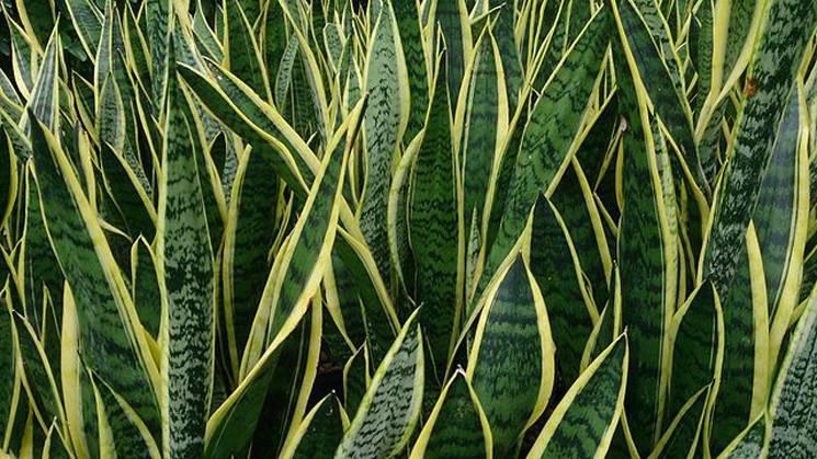 Zimmerpflanzen Für Sonnige Standorte zimmerpflanzen die garantiert überleben